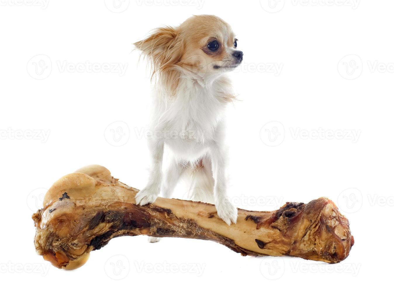 Chihuahua mit übergroßem Knochen auf weißem Hintergrund foto