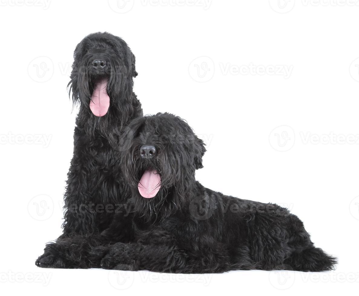 schwarzer russischer terrier foto