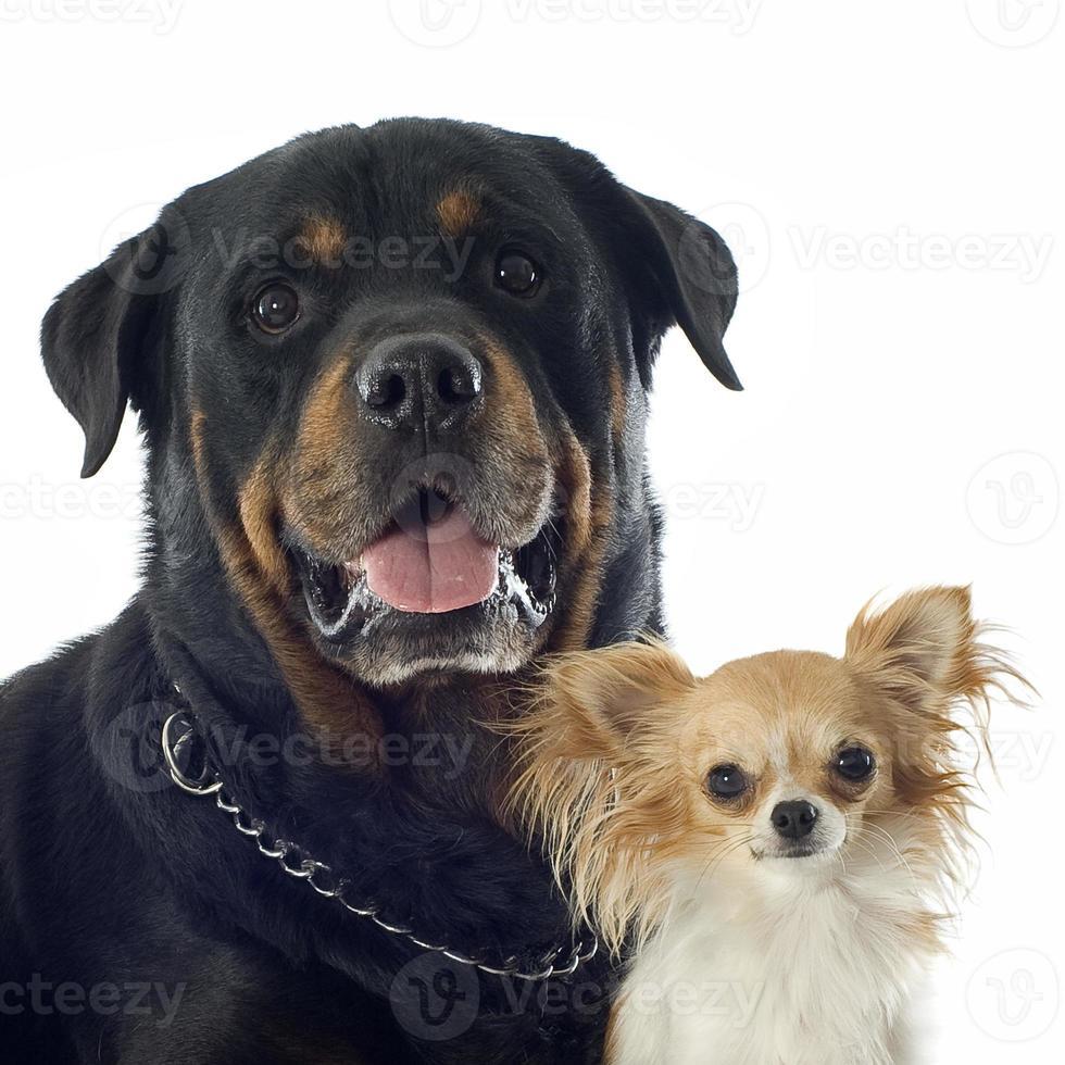 Rottweiler und Chihuahua foto