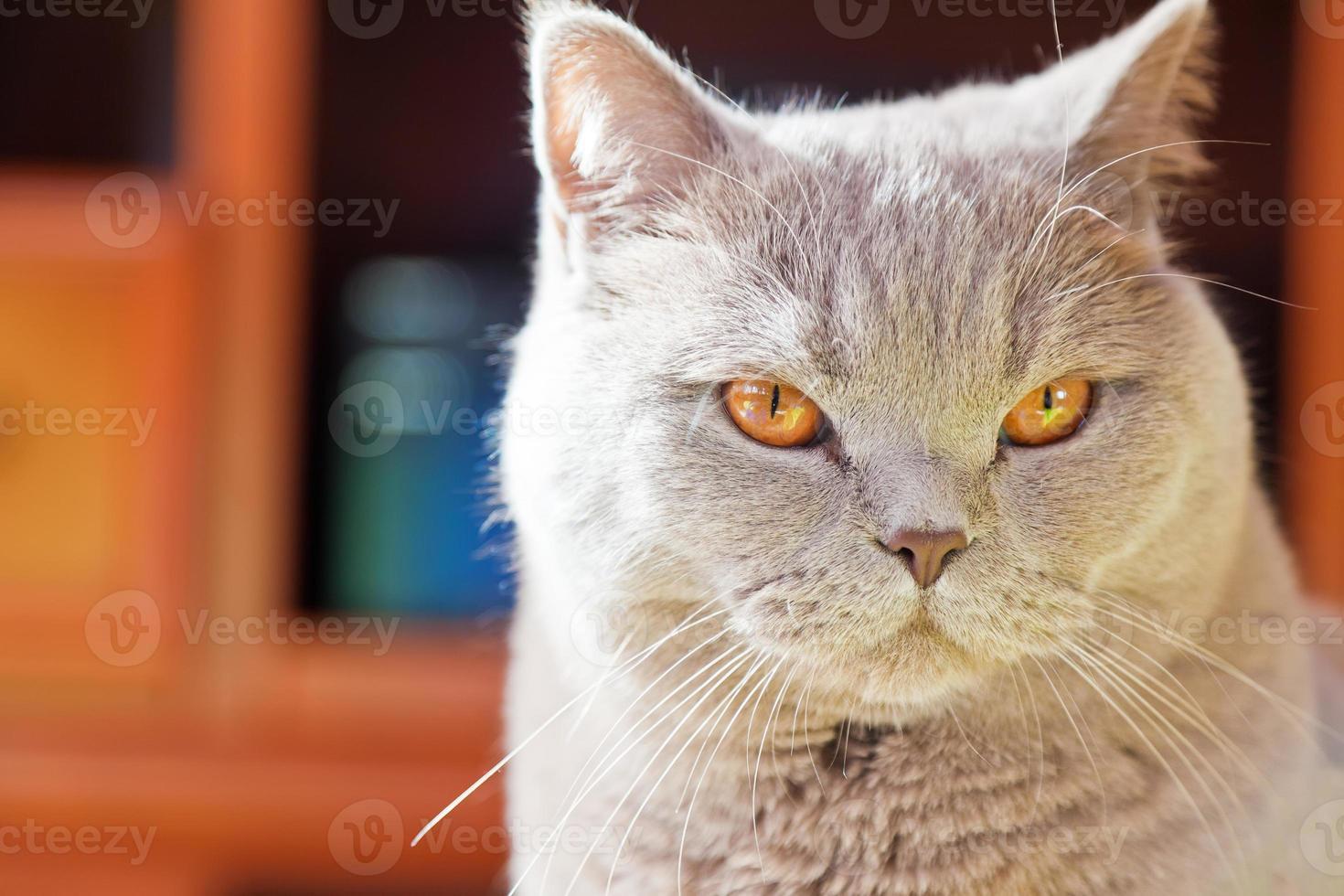Nahaufnahme lila britische Katze foto