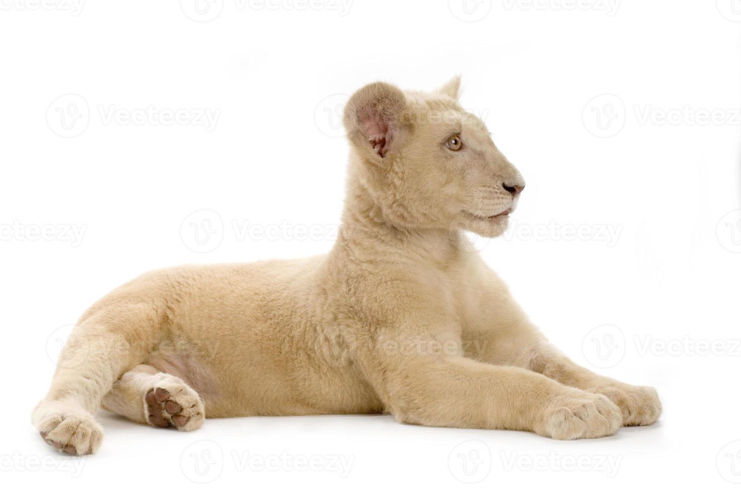 weißes Löwenbaby (5 Monate) foto