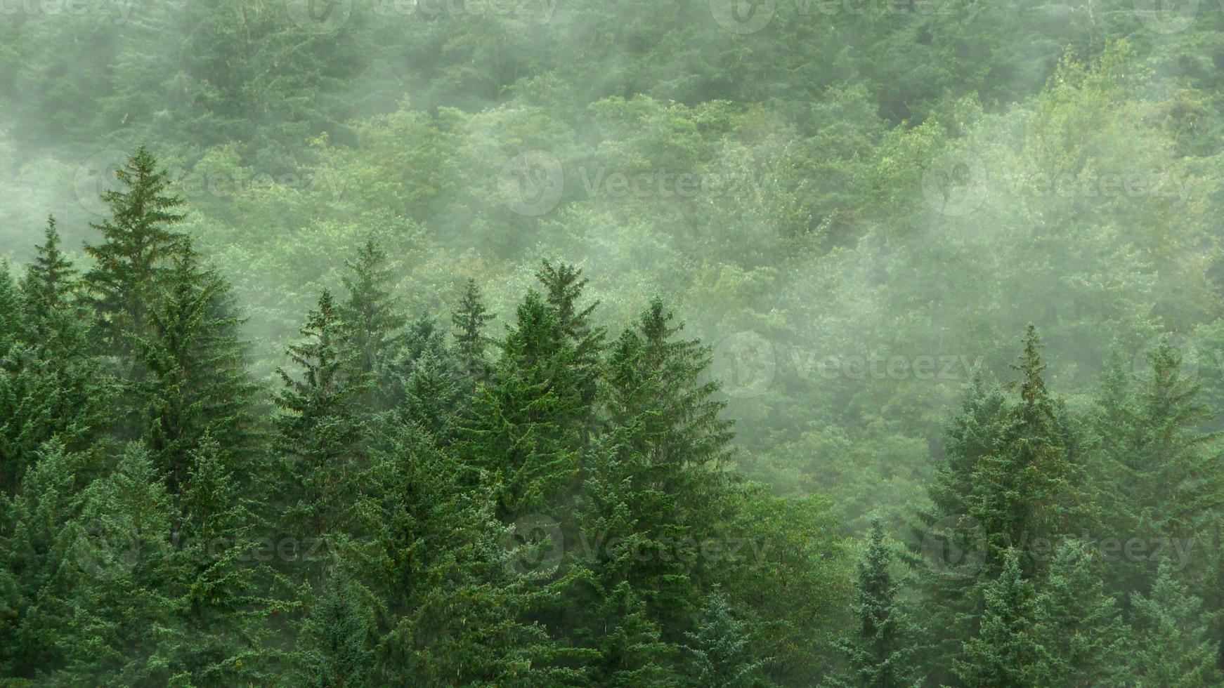 immergrüner Wald im Nebelhintergrund foto