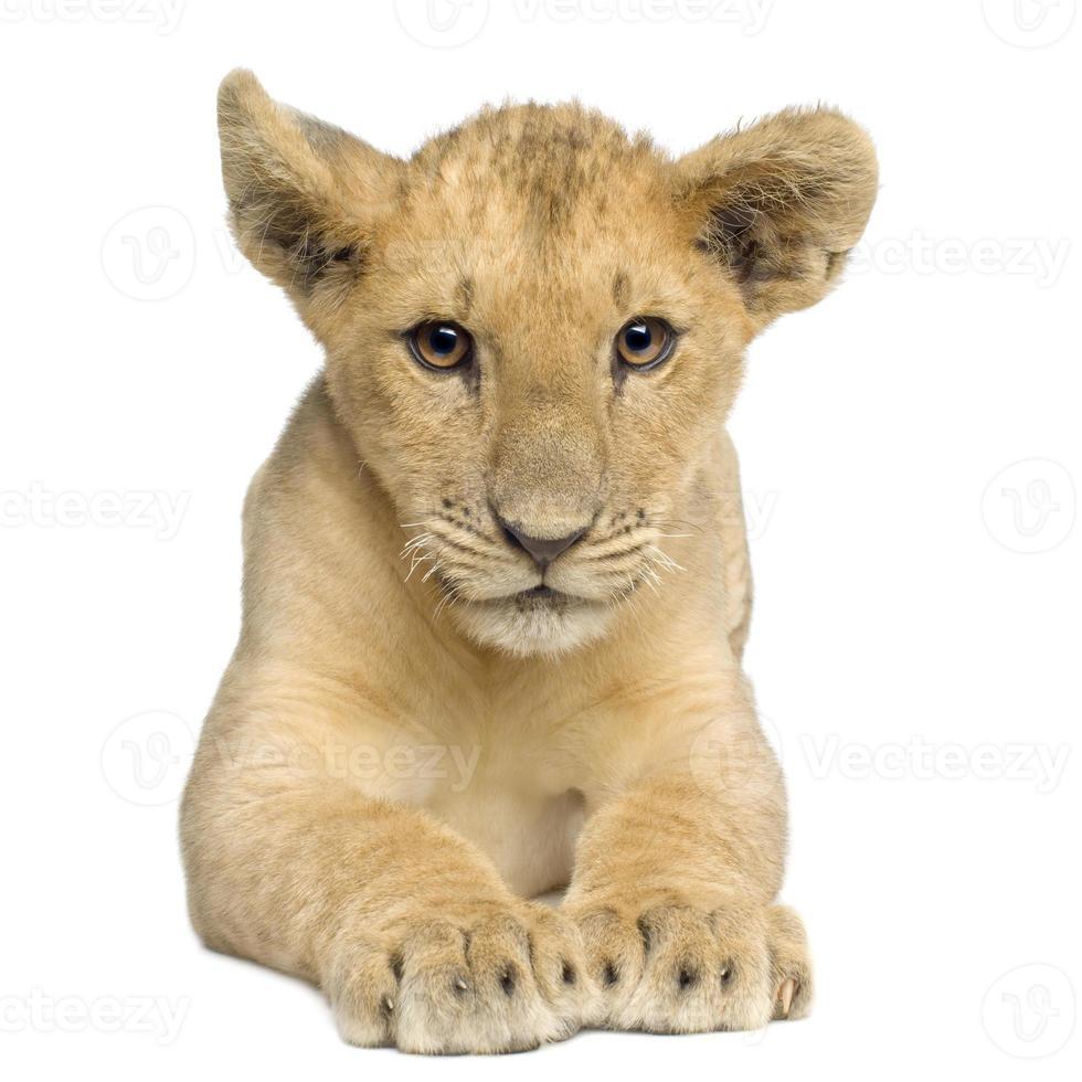 Löwenbaby (4 Monate) foto