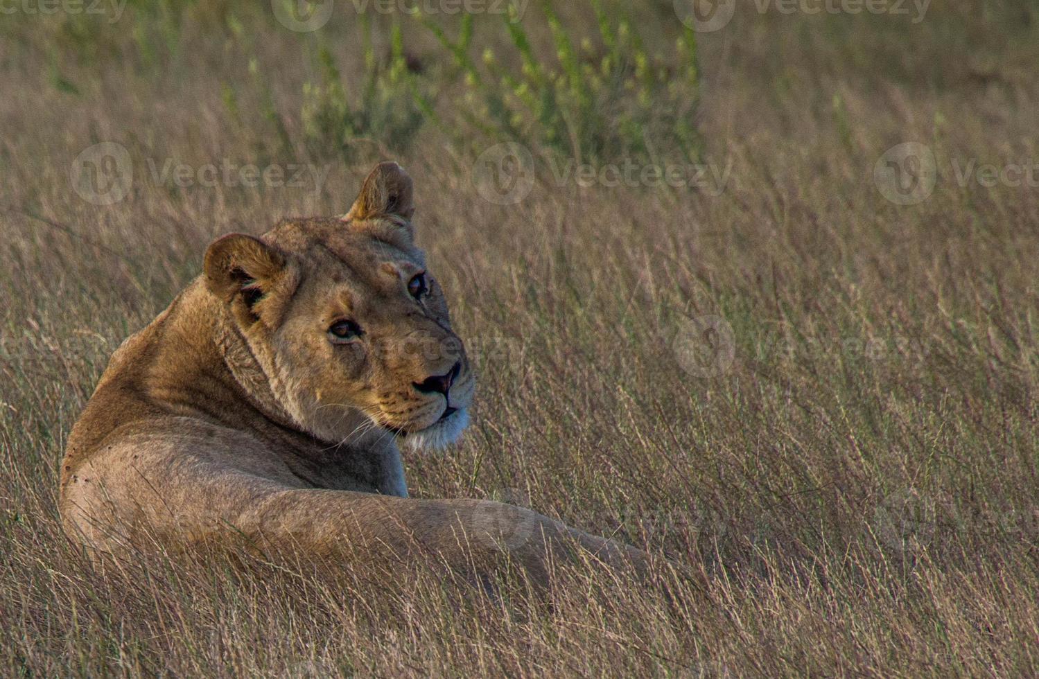 die Löwin foto