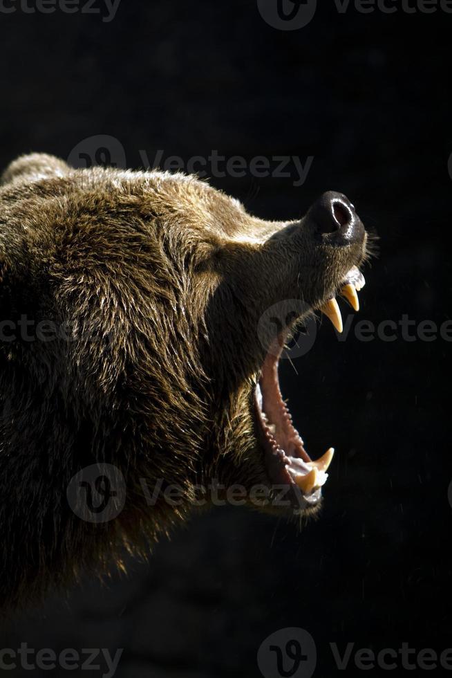 Braunbär. foto