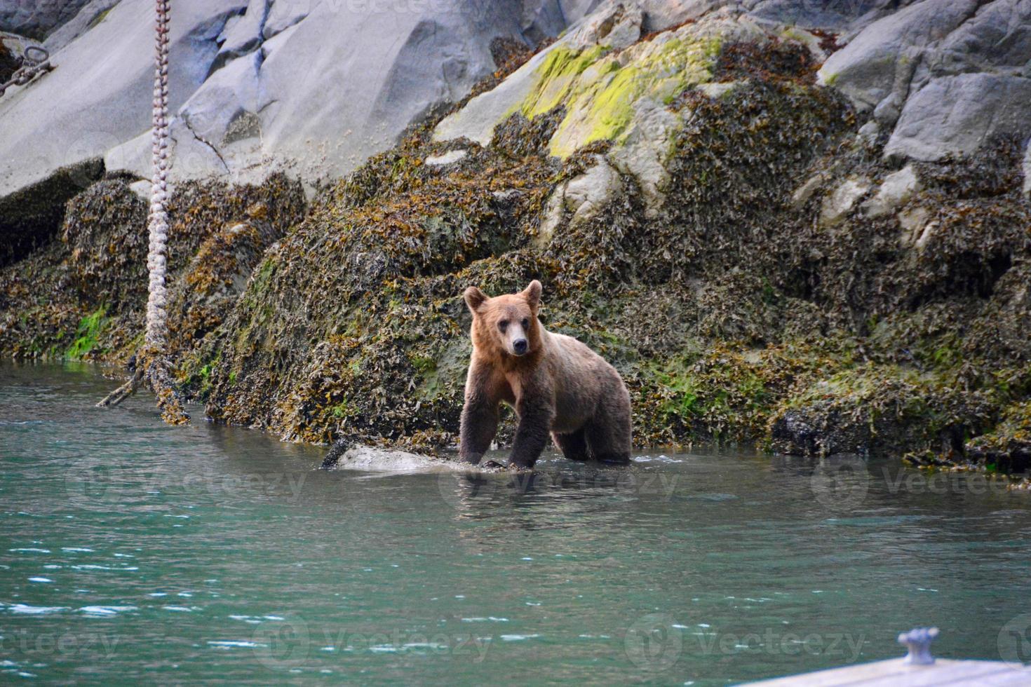 brauner Grizzlybär foto