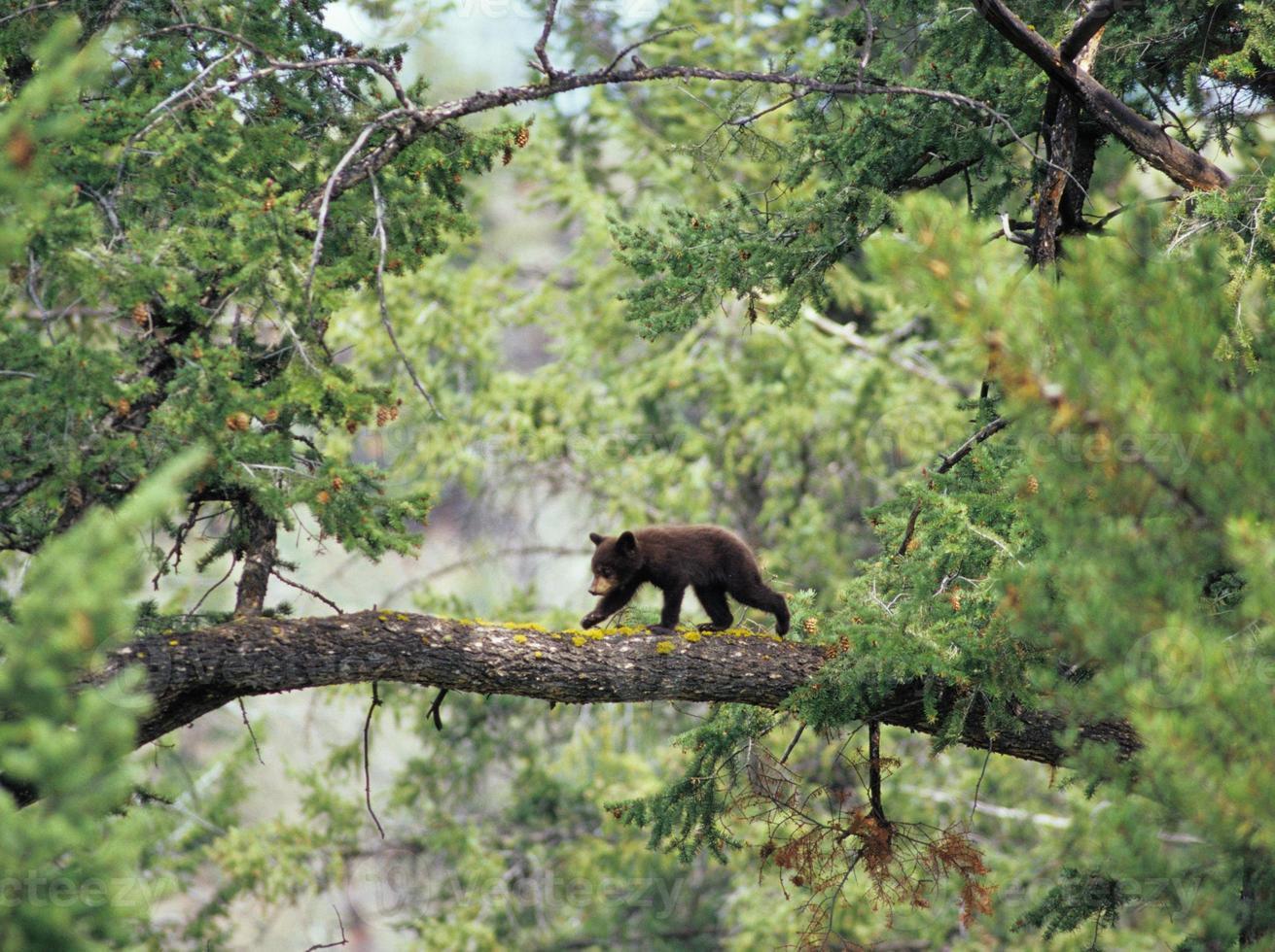 Schwarzbärenjunges auf Ast foto