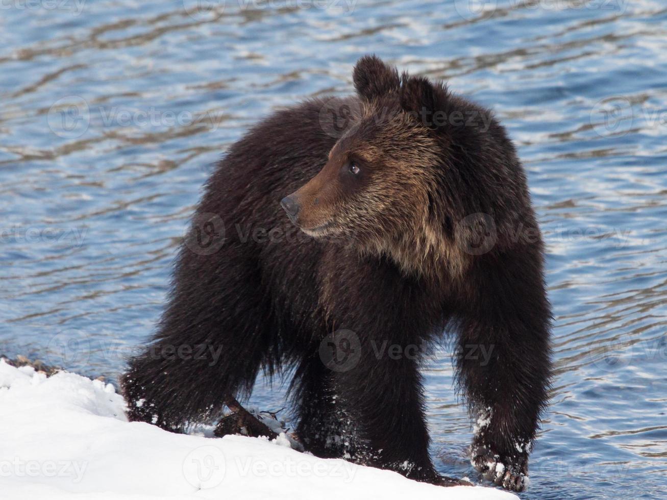 Baby-Grizzlybärenjunges im Schnee am Strand foto