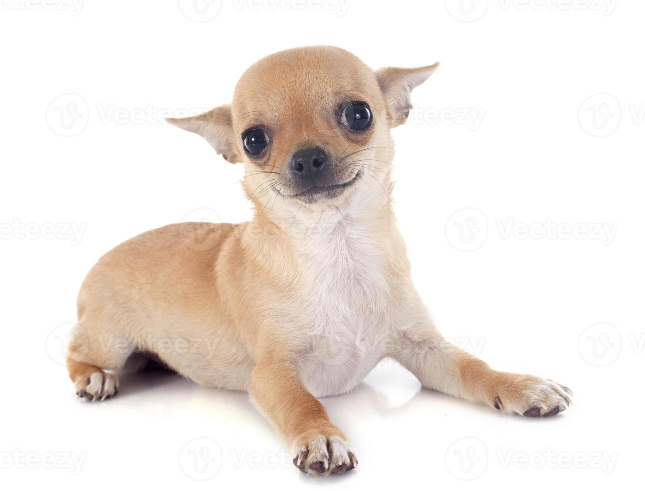 Welpe Chihuahua foto