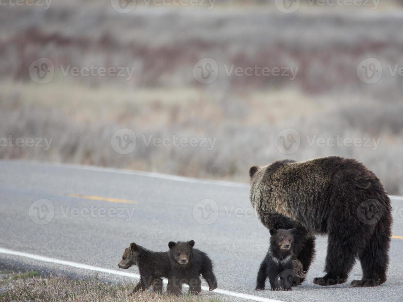Grizzly und Jungen überqueren die Straße foto