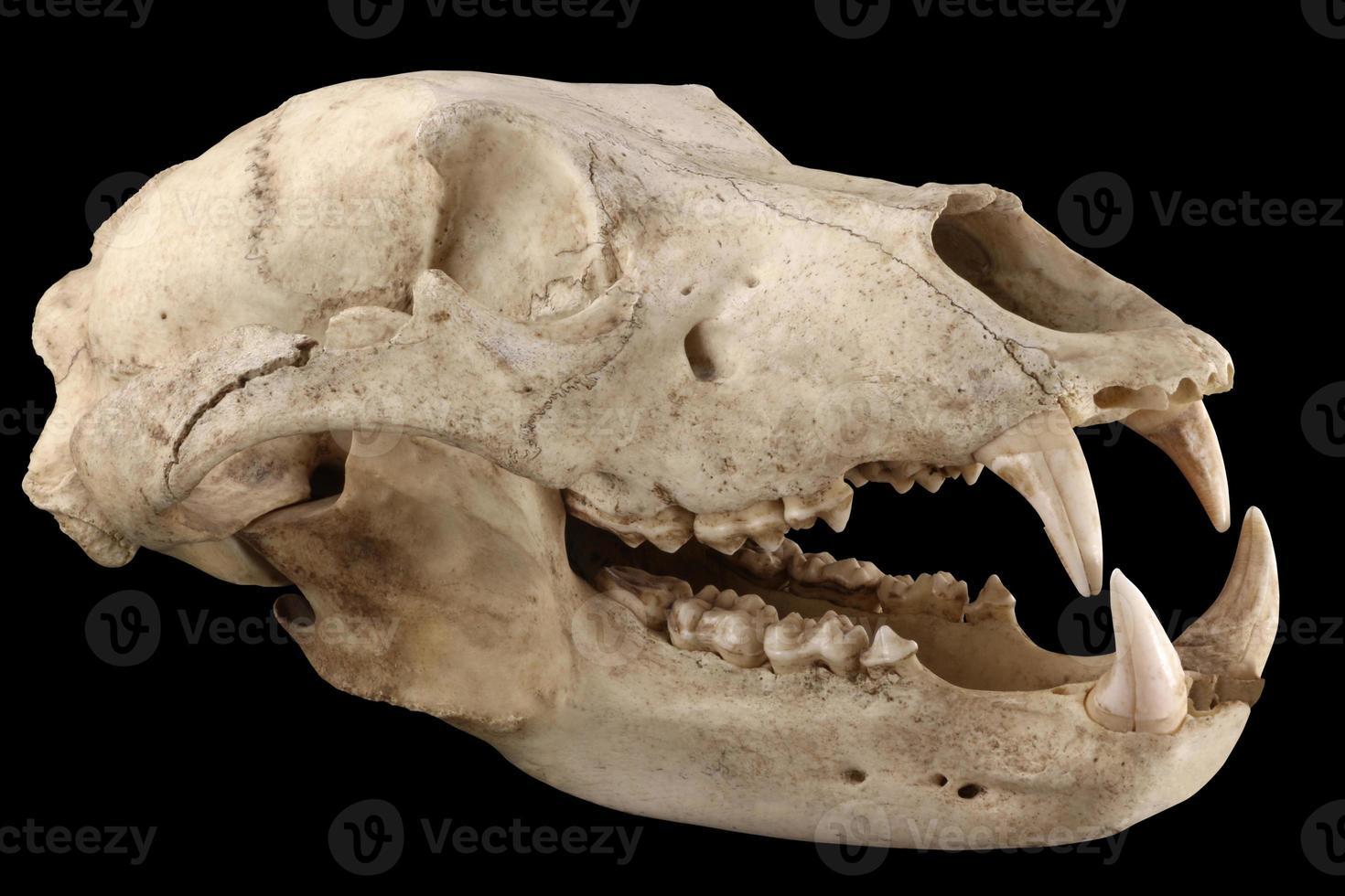 Bärenschädel lokalisiert auf einem schwarzen Hintergrund foto