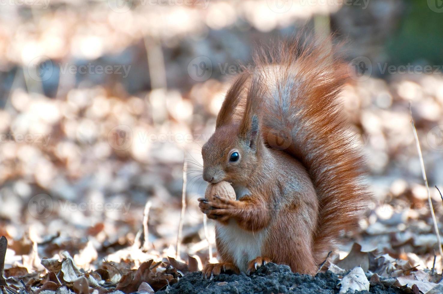 Eichhörnchen mit Nuss. foto