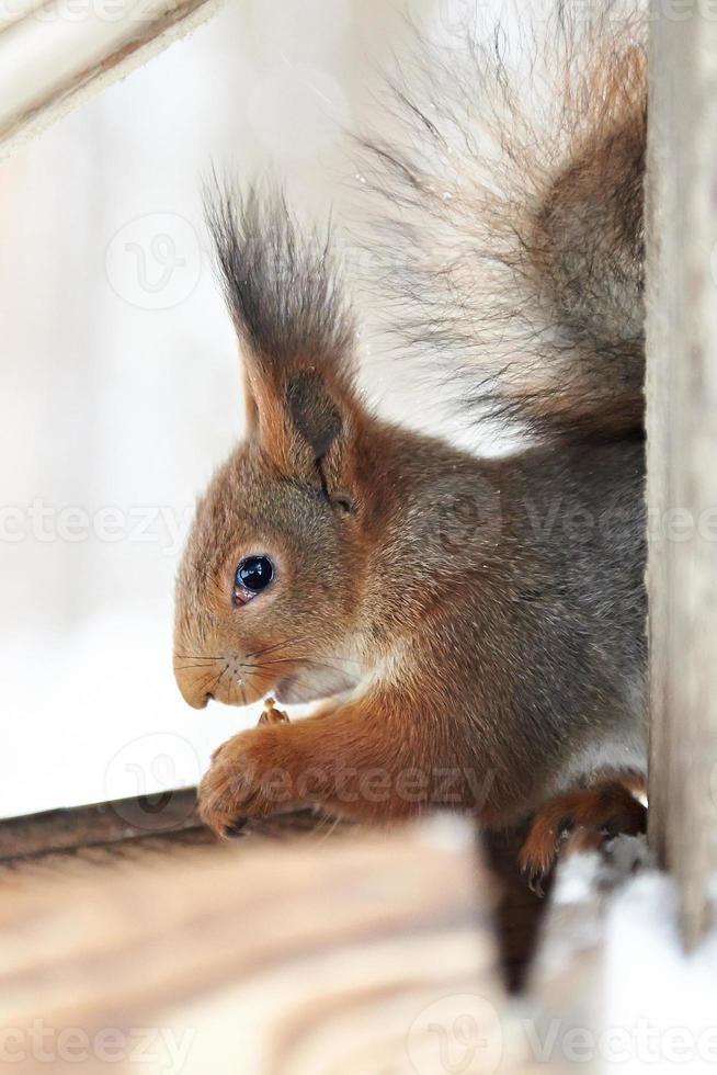 Eichhörnchen knabbert Nuss foto