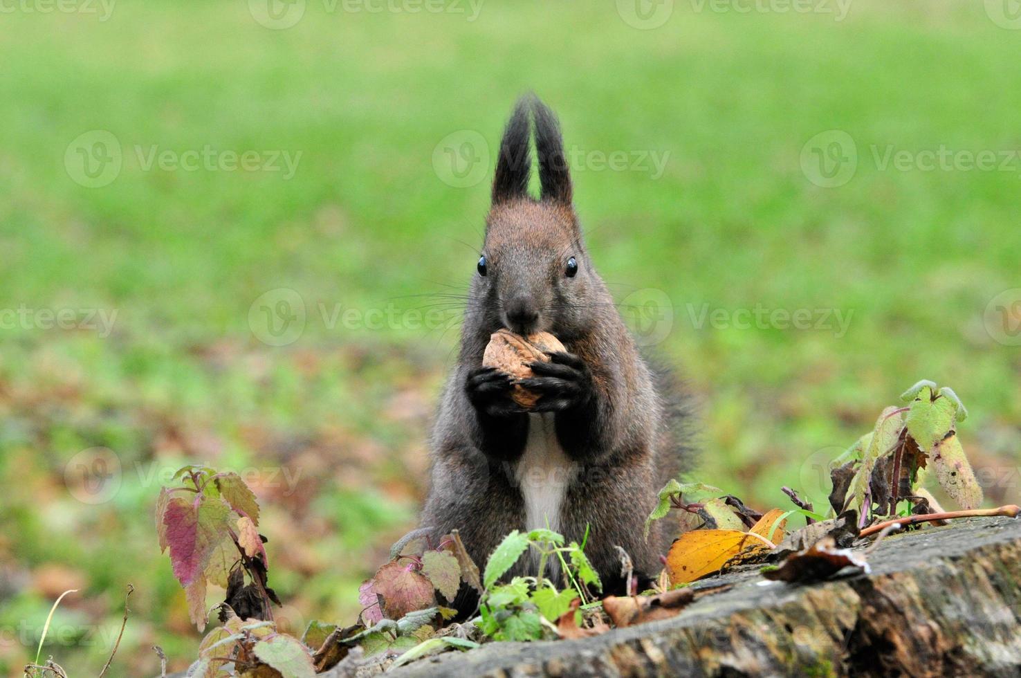 Eichhörnchen. Herbst, November. foto