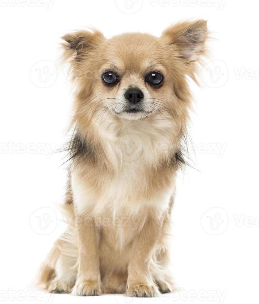 Chihuahua sitzen und schauen in die Kamera foto