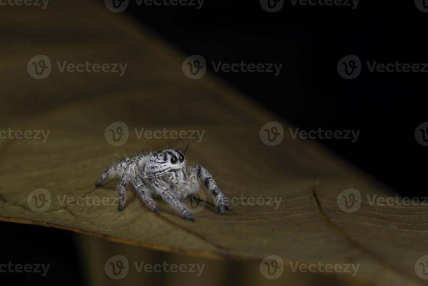 Seitenansicht der schweren Springerspinne (hyllus diardi) foto