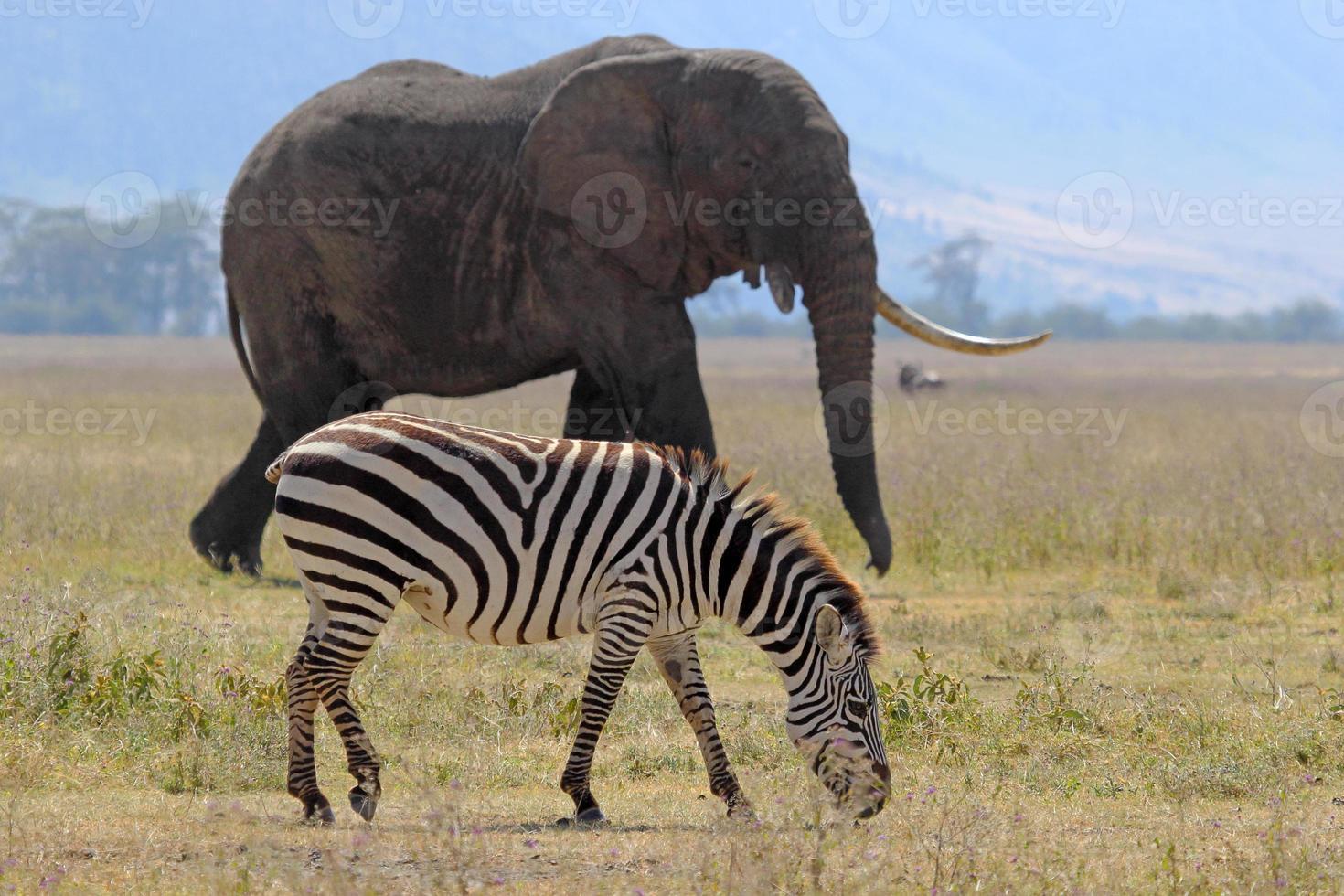 afrikanischer Elefant und Zebra foto
