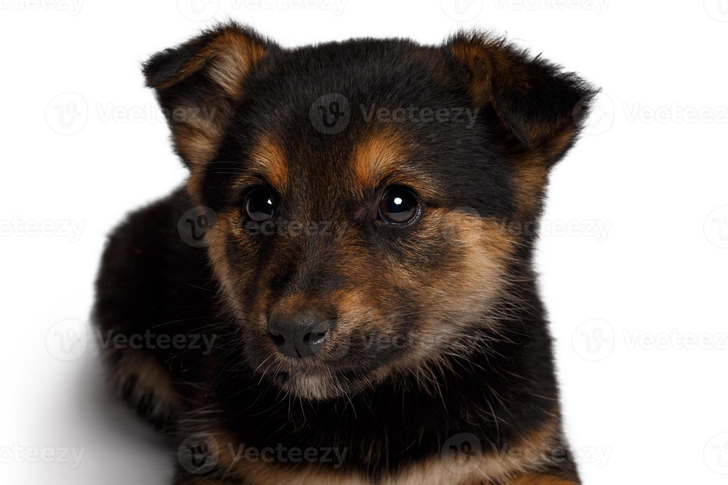 Welpe Mischlingsschafhund mit Hündchen foto