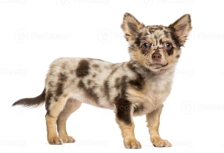 Chihuahua Welpe, der die Kamera betrachtet foto
