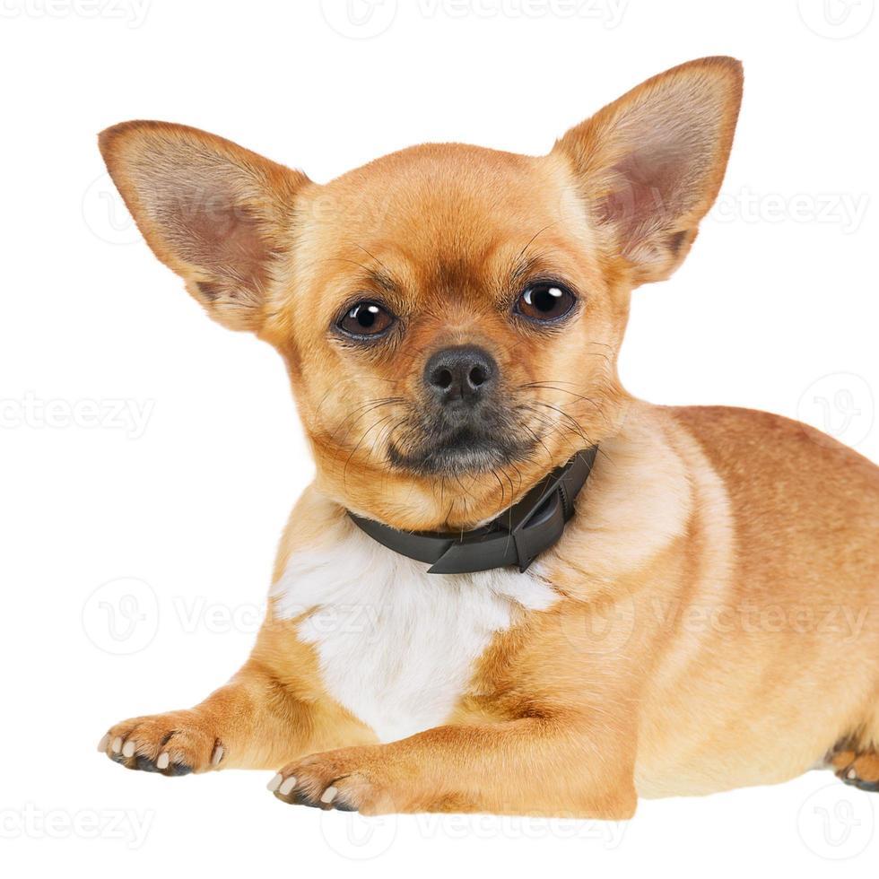 Chihuahua-Hund im Anti-Flohhalsband lokalisiert auf weißem Hintergrund. foto