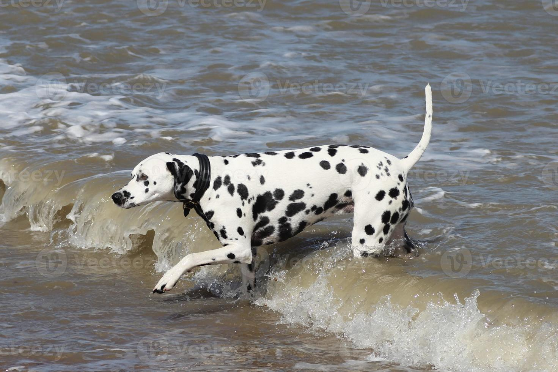 dalmatinischer Hund im Meer foto