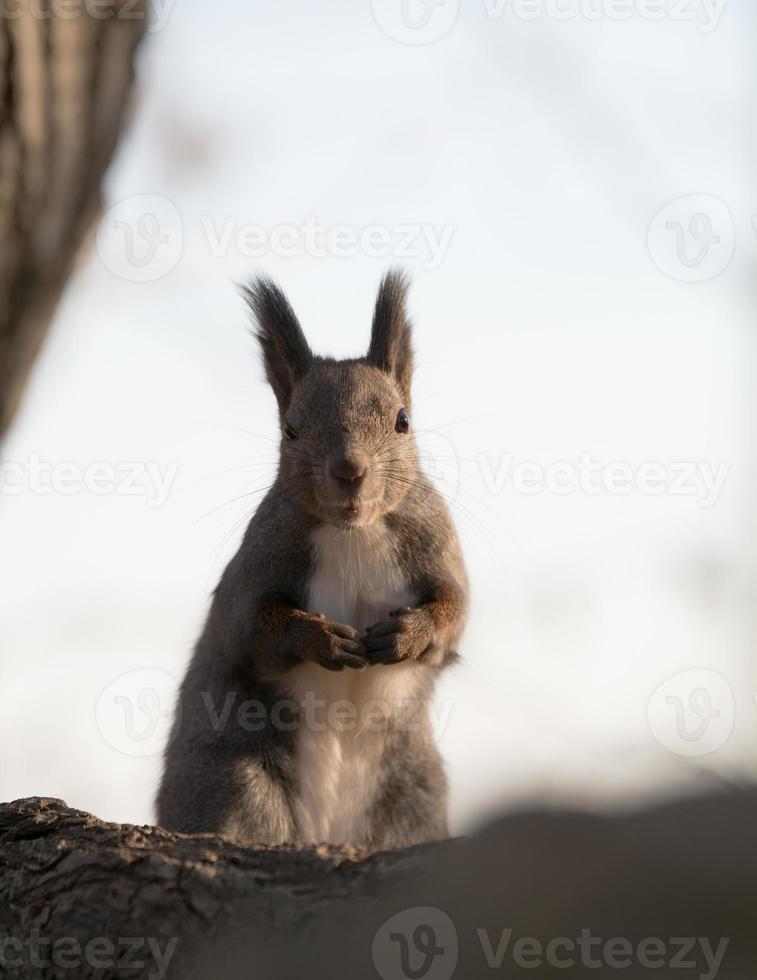 Hokkaido-Eichhörnchen foto