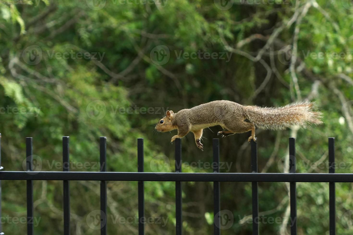 Eichhörnchen auf der Flucht foto