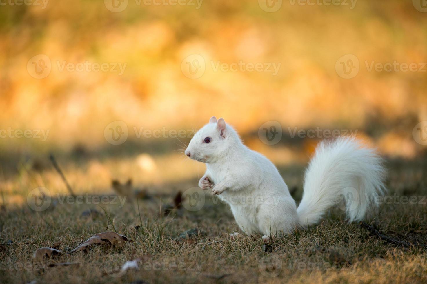 weißes Eichhörnchen, das Nüsse begräbt foto