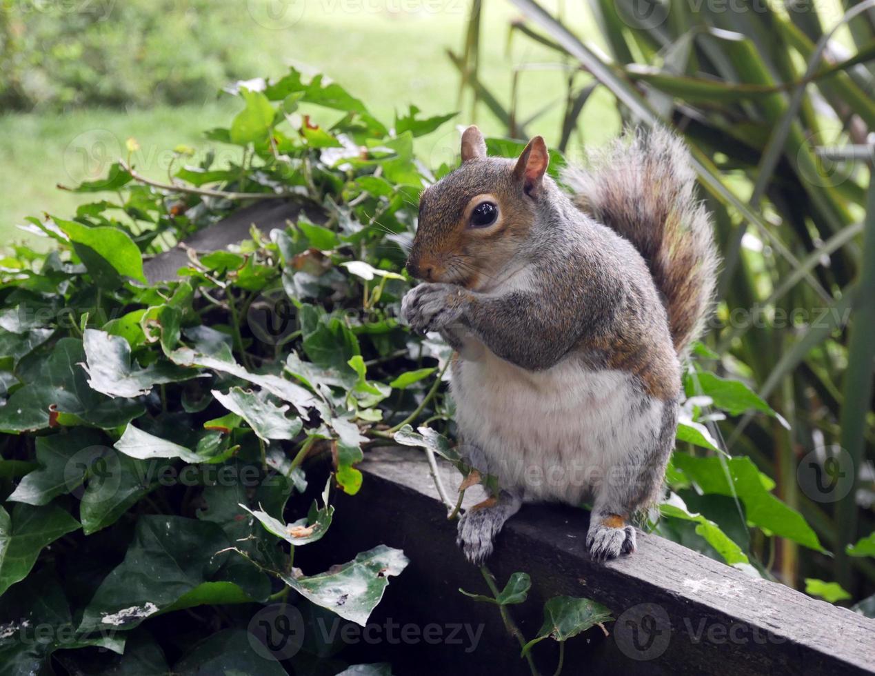 zahmes Eichhörnchen, das Nüsse isst, cambridgeshire uk foto
