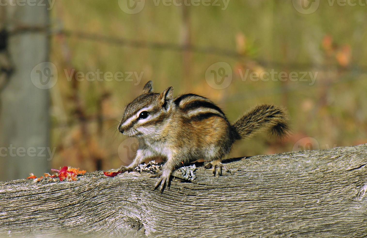 winziges Chipmunk-Grundeichhörnchen foto