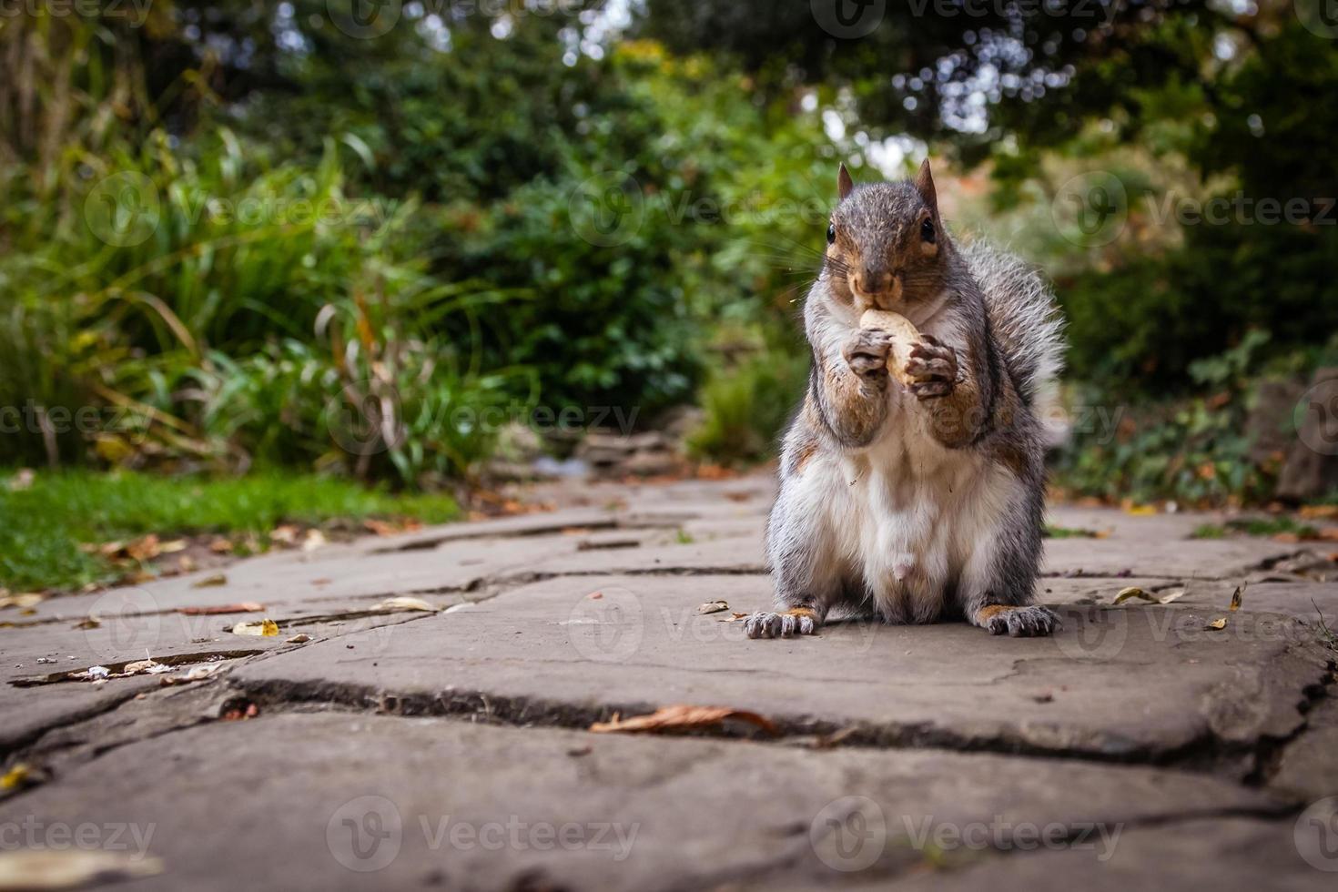 Eichhörnchen essen Nuss foto