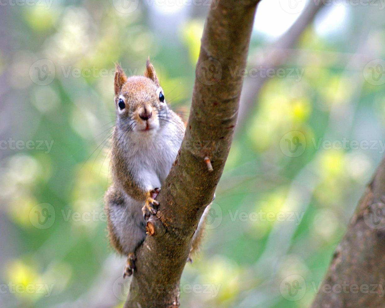 rotes Eichhörnchen im Frühjahr foto