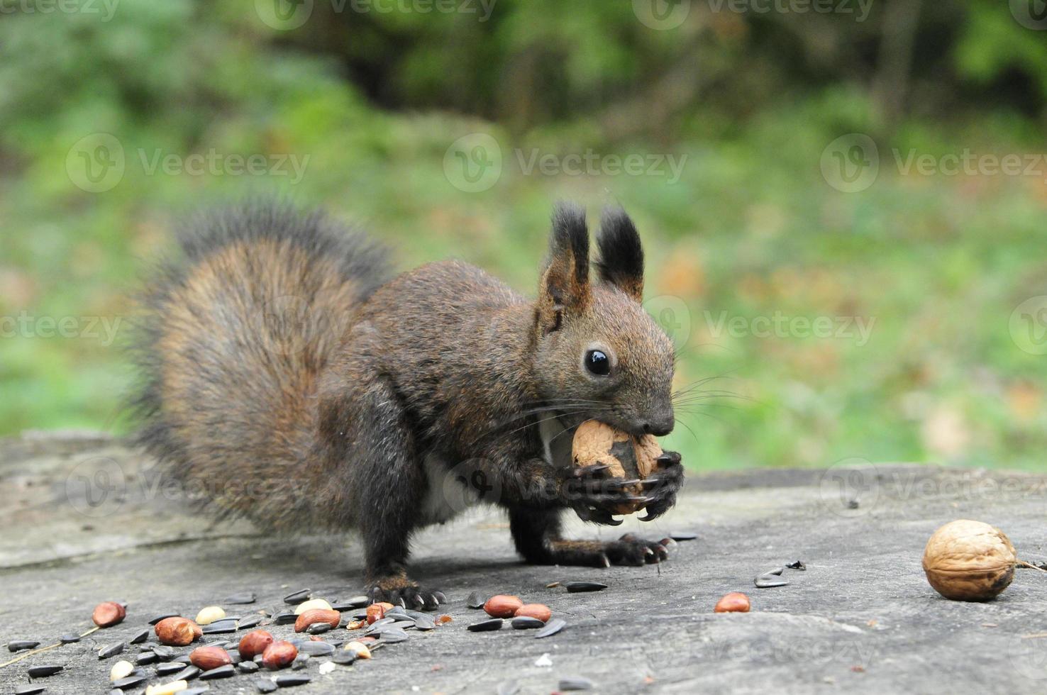dunkelbraunes Eichhörnchen. Eichhörnchen. foto