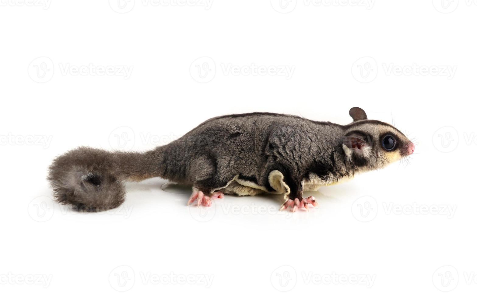 fliegendes Eichhörnchen, Zuckersegelflugzeug lokalisiert auf Weiß foto
