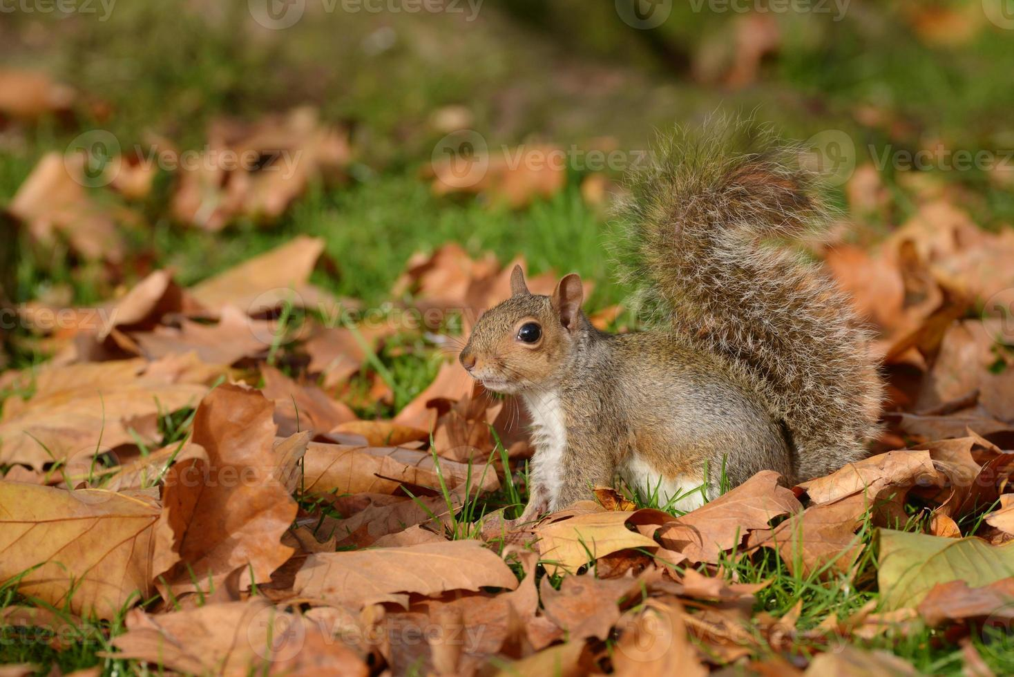 graues Eichhörnchen, Eichhörnchen, Sciurus carolinensis foto