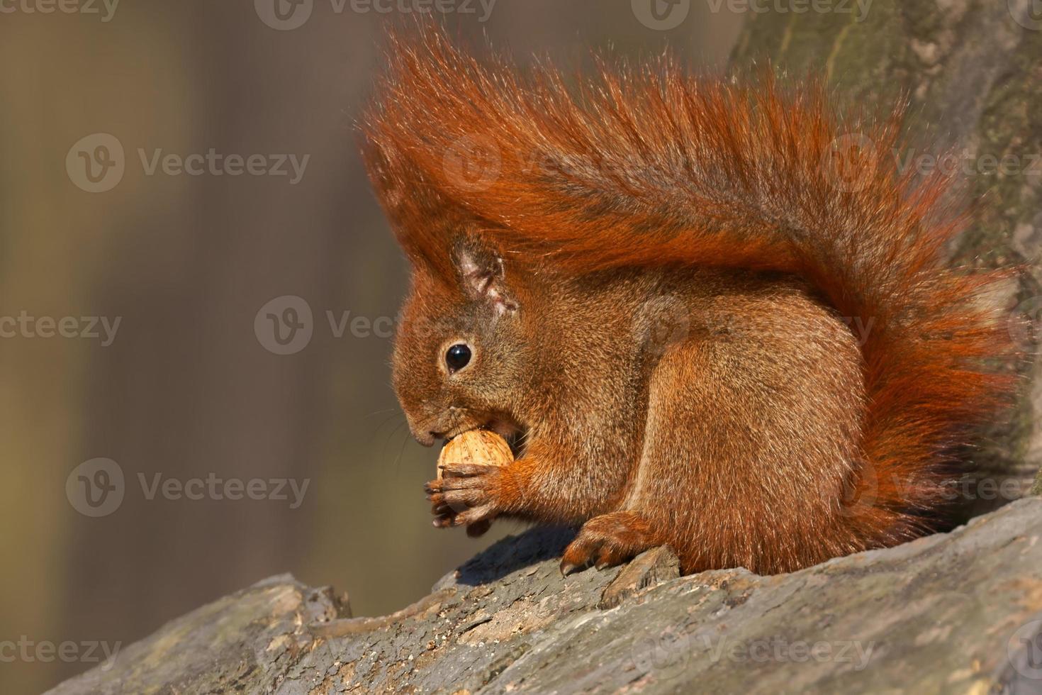 Rotes Eichhörnchen (Sciurus vulgaris) isst Walnüsse foto