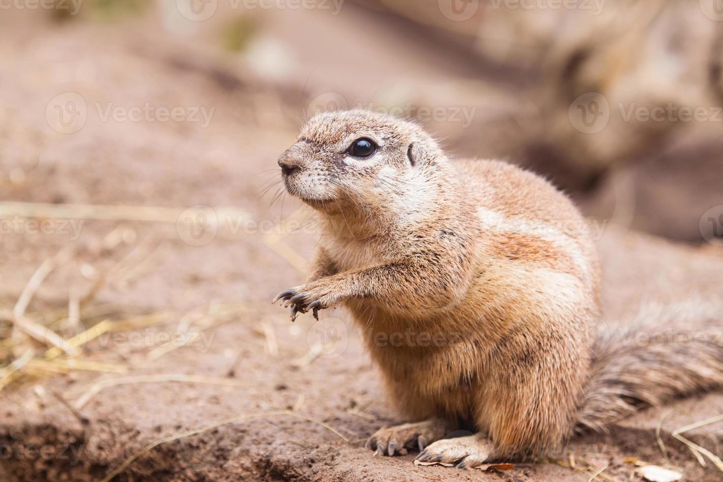 Kap Eichhörnchen foto