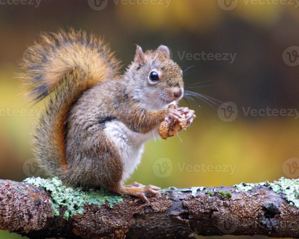 amerikanisches rotes Eichhörnchen im Herbst foto