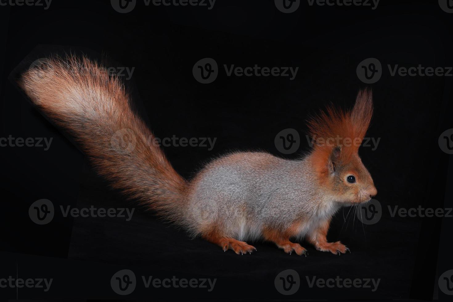 Eichhörnchen, foto