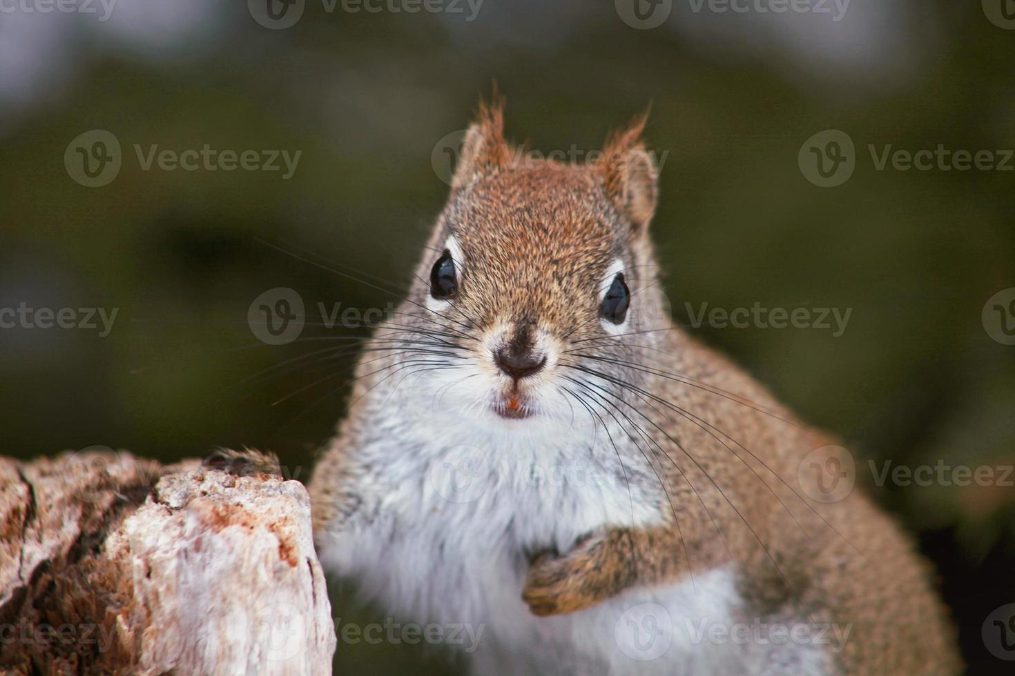 schönes Eichhörnchen foto
