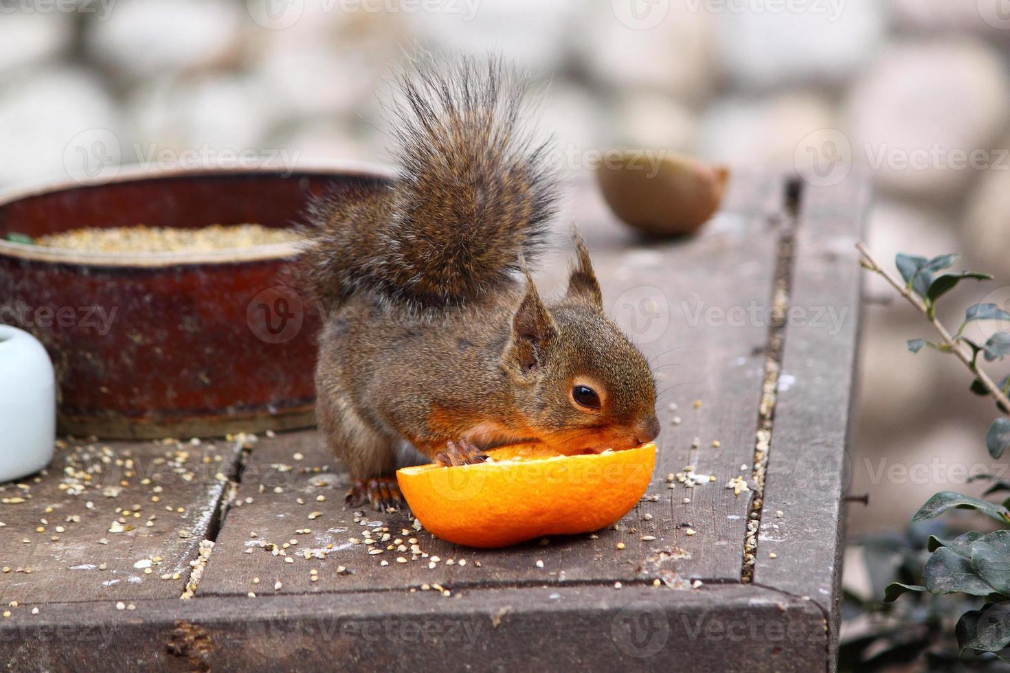 Das Eichhörnchen hat eine Mandarine foto
