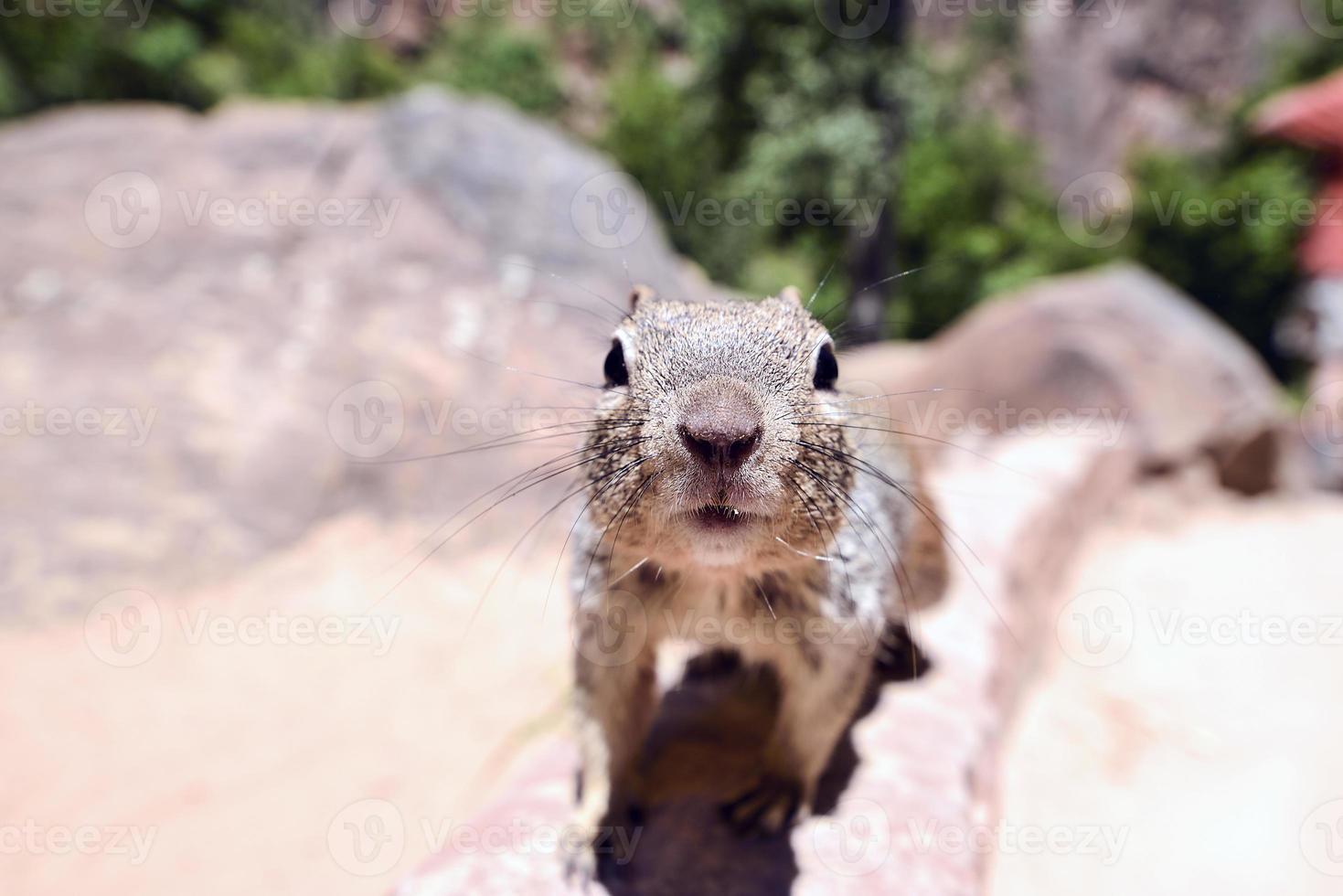 Uinta Groung Eichhörnchen foto