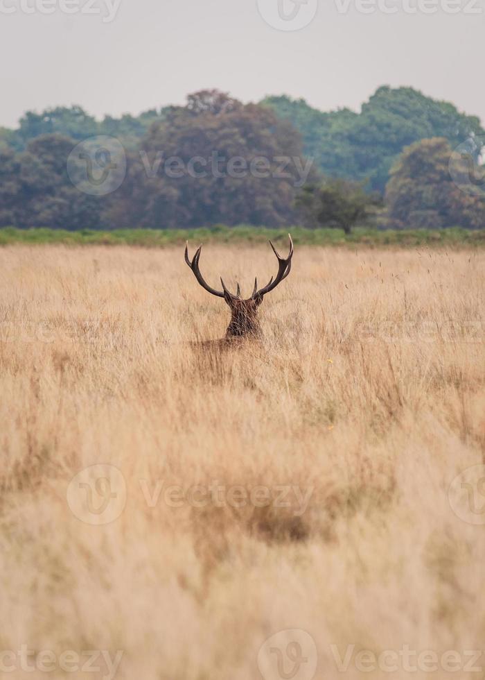 Hirsche in freier Wildbahn foto