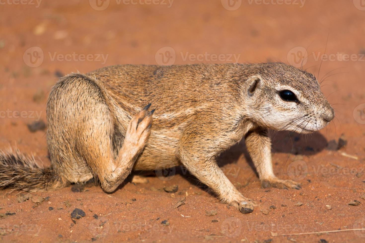 Grundeichhörnchen in der roten Wüste foto