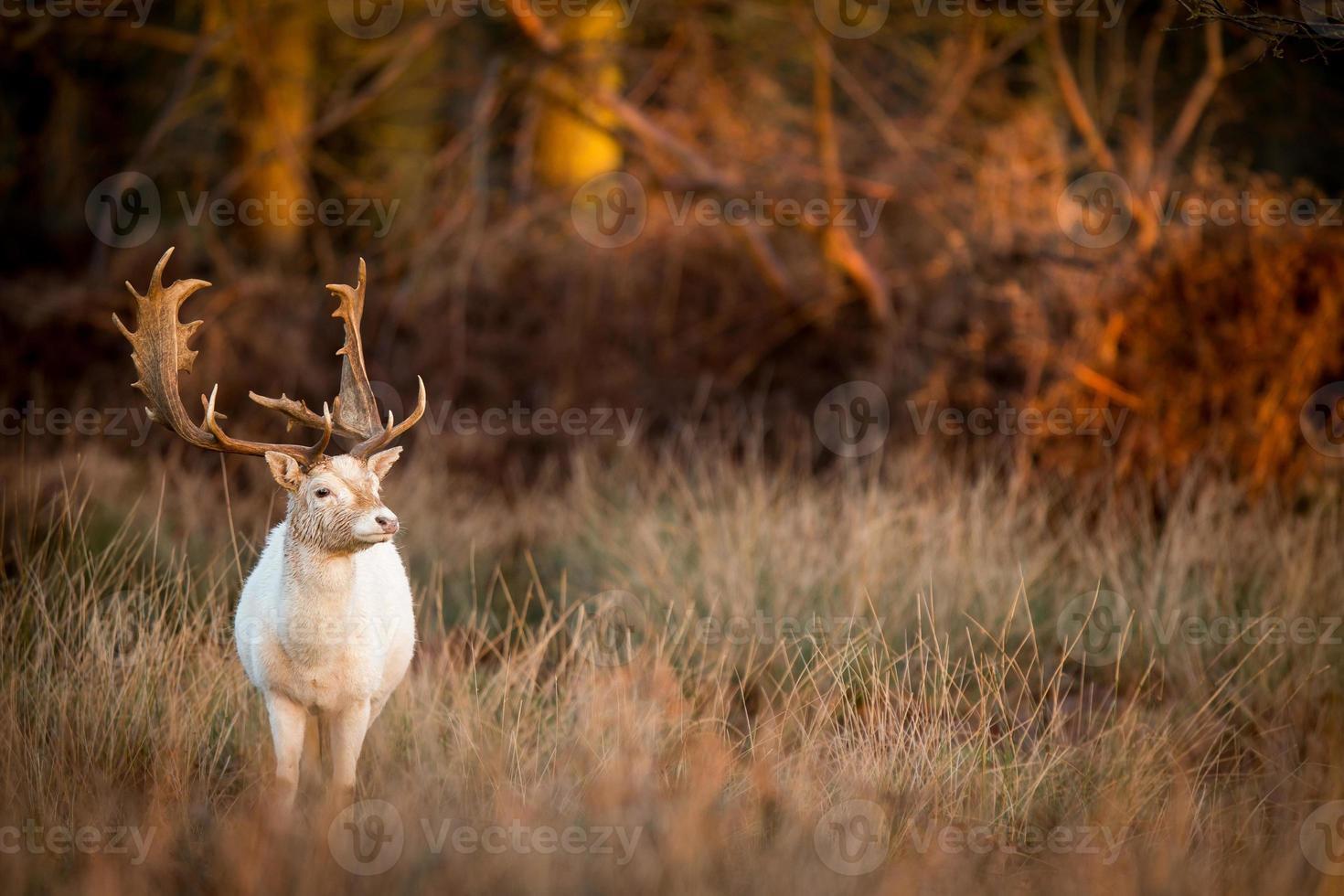 weißer Hirsch foto