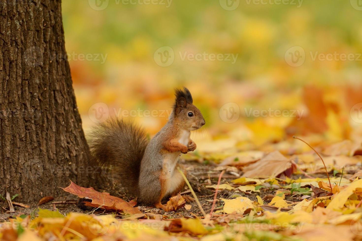 Eichhörnchen sitzt auf einem Gras foto