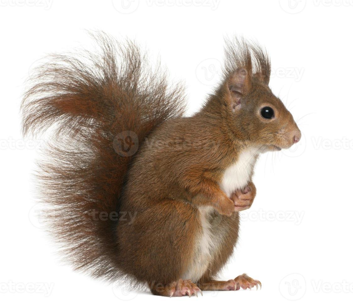 Seitenprofil eines 4 Jahre alten eurasischen Eichhörnchens foto