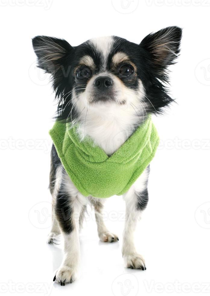 gekleidete Chihuahua foto