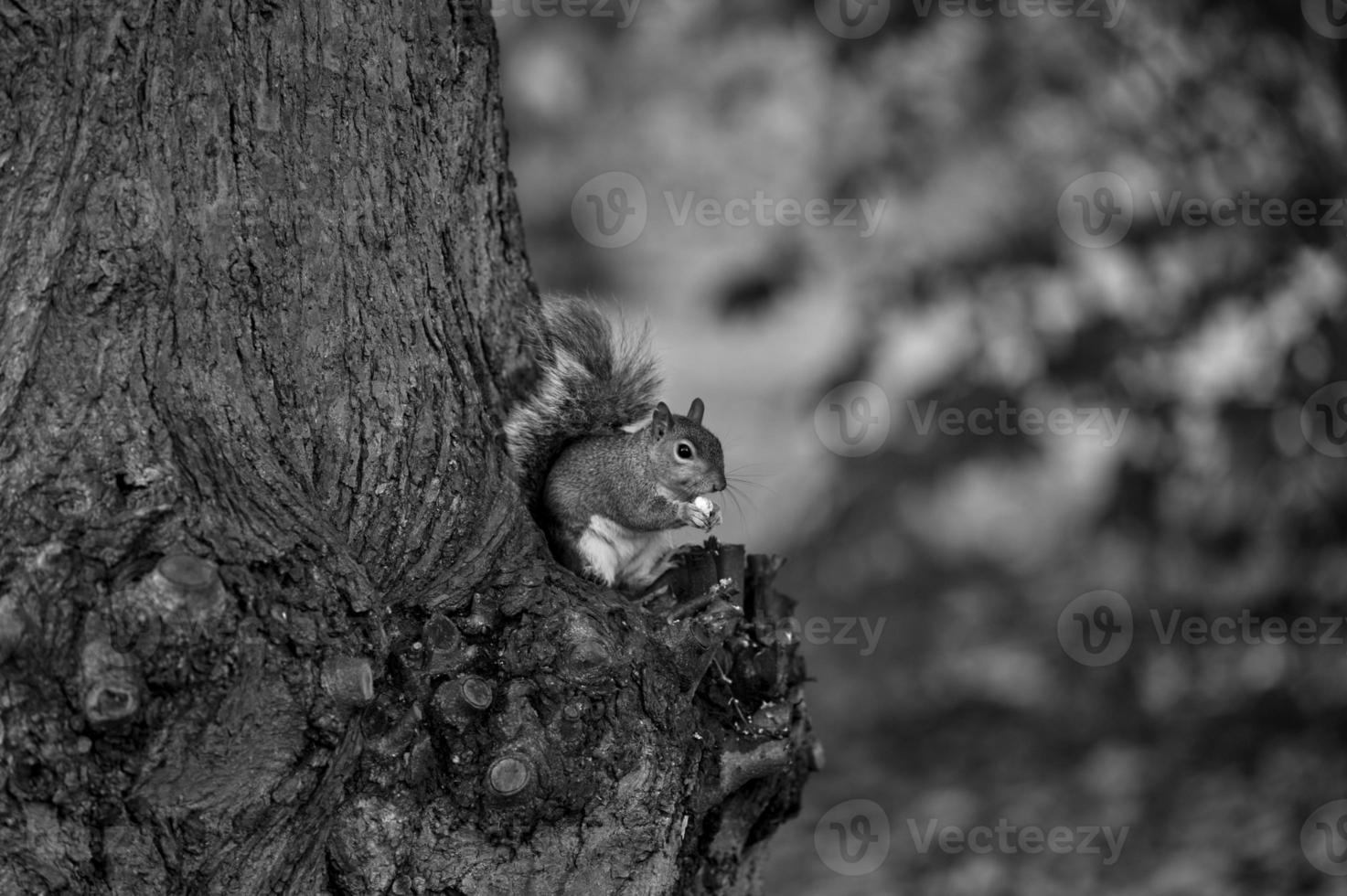 Eichhörnchen mit Nuss foto