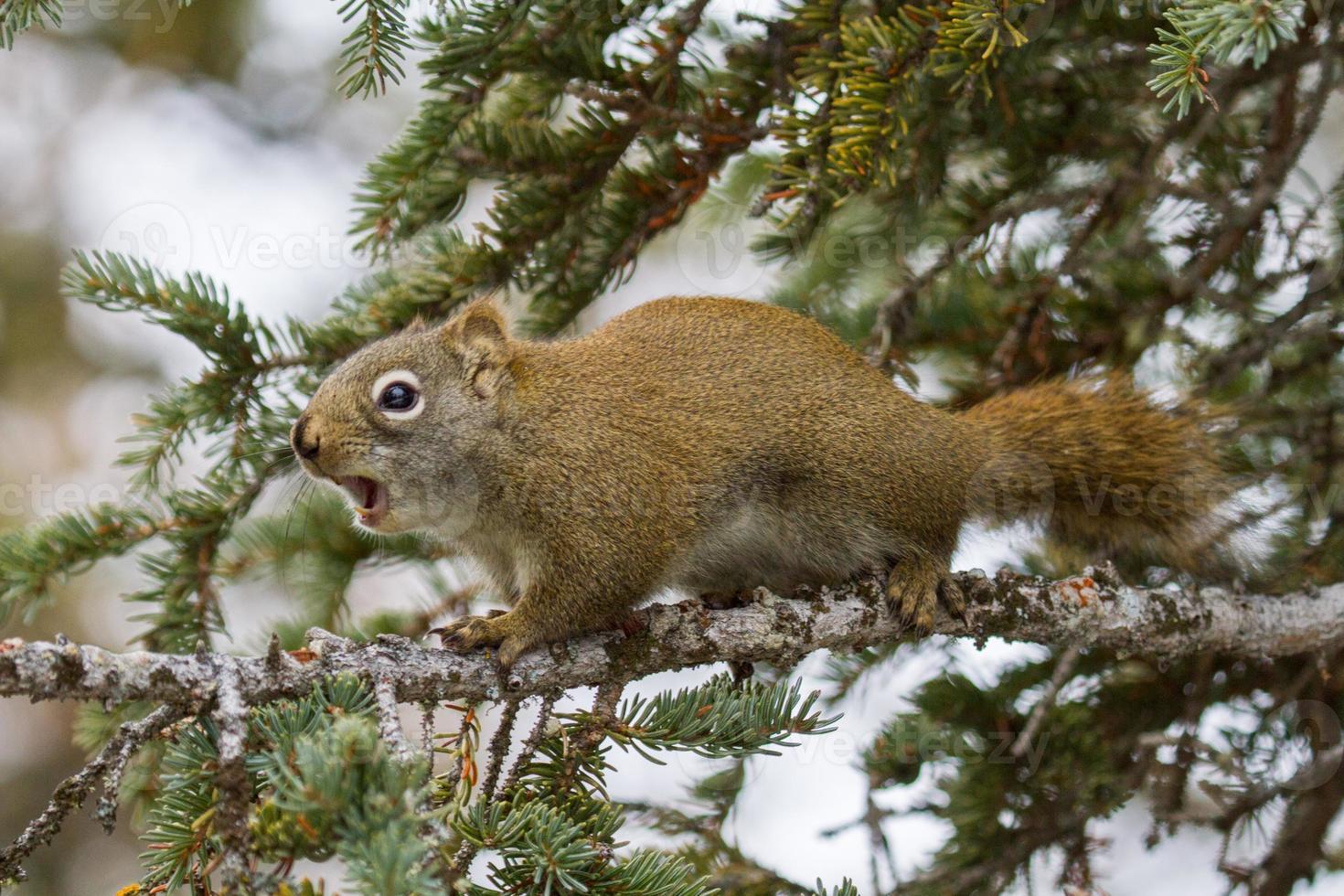 rotes Eichhörnchen quietscht foto